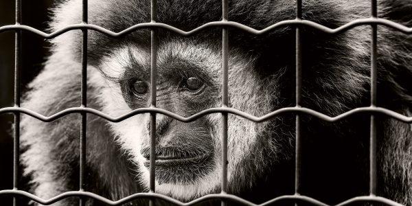 Die Wahrnehmung ist ein Affe in Gefangenschaft